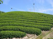 茶畑の風景